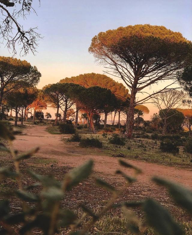 #morningwalk #freshmornings #nature #plants #wildplants and #trees #pinetrees #pathtothebeach #peacefulnature #quiteplace #morninglight #beautifulsunriselight #appreciatingnature #freshair #foregroundblured #naturephotography                                                                                                                         #freetoedit