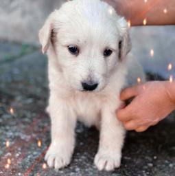 dog puppy pet newpet greece labrador