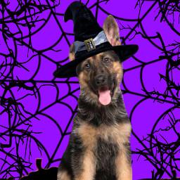 germanshepard germanshepardpuppy halloween witch cute pumpkins jackolantern spiderweb spider purple black witchhat hat puppy german pup scary thisishalloween freetoedit