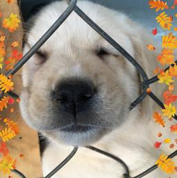 puppy cute labrador dogs