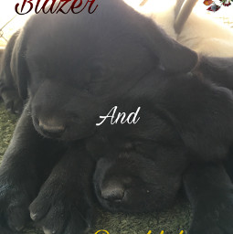 puppy labrador sisters cute dogs