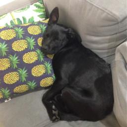 labrador cute dog pabloescobark pcmypetsbestportrait mypetsbestportrait