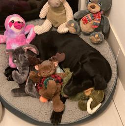 labrador dog cute pabloescobark pcmypetsbestportrait mypetsbestportrait