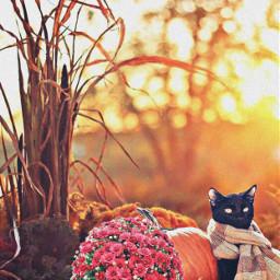 fall thanksgiving halloween pumpkins cat kitty kitten scarf petsandanimals autumn hay autumncolors mums flowers sunset tree nature remixit background freetoedit