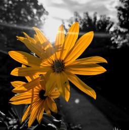 flowershoutout flower colorsplash colorsplasheffect blackandwhite freetoedit