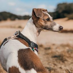 freetoedit italiangreyhound iggy dog sighthound pcmypetsbestportrait mypetsbestportrait