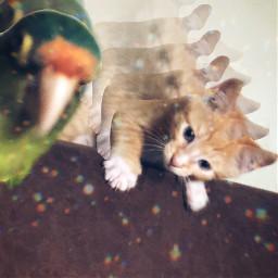 tito loro pancho cat catlover picsart rcmotioneffect motioneffect freetoedit