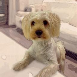 mydog🐶 malteseterrier cutedog freetoedit mydog mypetsbestportrait