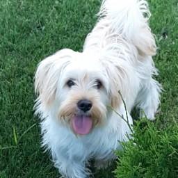 lucky mydog🐶 malteseterrier freetoedit mydog pcmypetsbestportrait mypetsbestportrait