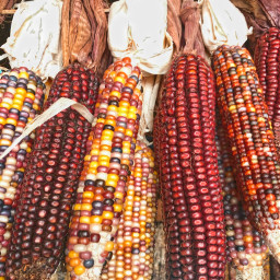 freetoedit harvest corn corncobs maize