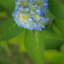 blue flowerphotography hydrangea mygardenpics