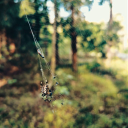 spider spiderweb insect forest nature beautifulnature myphoto myclick autumn autumnvibes freetoedit
