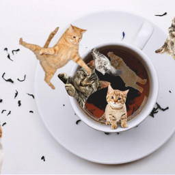cat cats funny meme catmeme funnycat catfunny catties kitty kittens kittys kitties forchallenge challenge picsart cool ircacupoftea acupoftea freetoedit