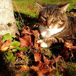 autumn fall spookyseason halloween cute cat cats kitten soft leaves challenge heypicsart fallaesthetic aesthetic pets nature hufflepuff hufflepuffaesthetic free calm pretty mystical etheral ethereal pcmypetsbestportrait mypetsbestportrait