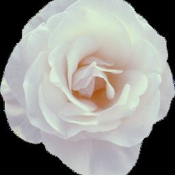 freetoedit white blanco rose rosa