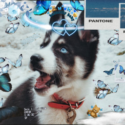 husky blue labrador nature naturelove