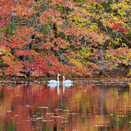 naturephotography swans smallriver reflections autumnvibes serenity freetoedit
