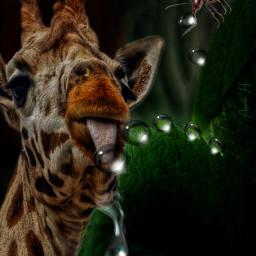 everyone giraffe water ant waterdrops greenleaf drinking freetoedit