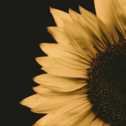 freetoedit sunflower halfphoto edited picsarteffects
