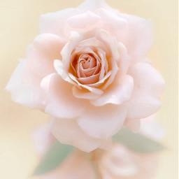 beautifulrose freetoedit