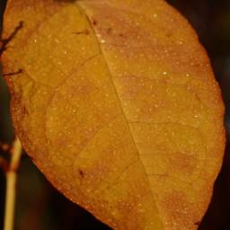 kinora autumn autumncolors leave yellow earlythismorning morningwalk nature loveit dew dewdrops