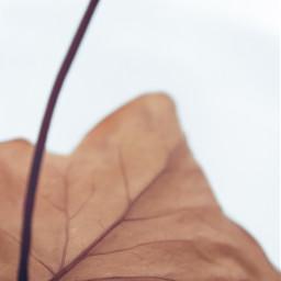 freetoedit leaf autumnleaf closeup simple driedleaf fallingleave autumnvibes minimal simplicity softcontrast negativespace closeupphotography