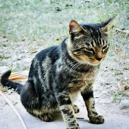 freetoedit cat catlover