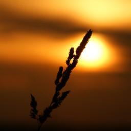 sunset sunsetsilhouette sun plant naturephotography naturebeauty