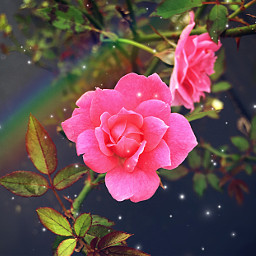 aesthetic flower rose rainbow beautiful mothernature pink plant sparkle aestheticallypleasing freetoedit