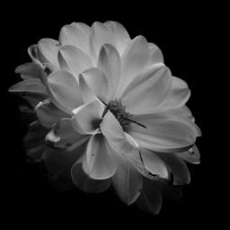 freetoedit photography flower closeup monochrome