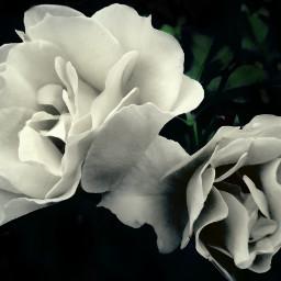 rose flower freetoedit