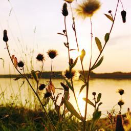 sunset wildplants sunsetsilhouette naturephotography