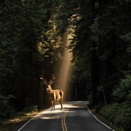 deer deepinthewoods forest forests light lights luce foresta cervo animal forestanimals simple simply freetoedit ircgorgeousforest gorgeousforest