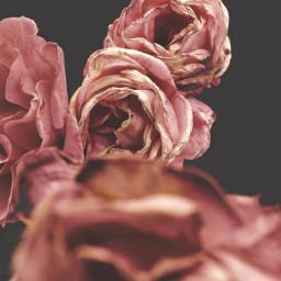 nature flowers roses naturesbeauty foregroundblured freetoedit