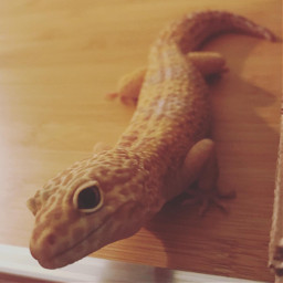 leopardgeckos gecko reptile interesting cute lizard yellow pets petsandanimals animals leo scaly