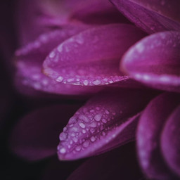 freetoedit remixit rainydays rainy raindrops drops purple autumn fall thelastflower moody nature naturelover flower