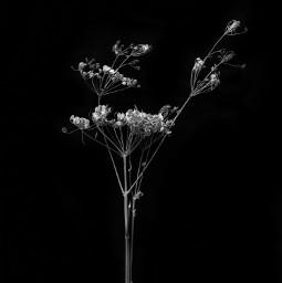 minimal dryflower blackandwhitephotography darkphotography