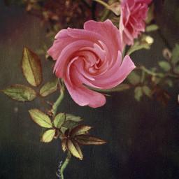 fleur rose plantes vegetation sombre tourbillons freetoedit