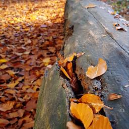 freetoedit autumn leaves leavesisee naturephotography pcleavesisee