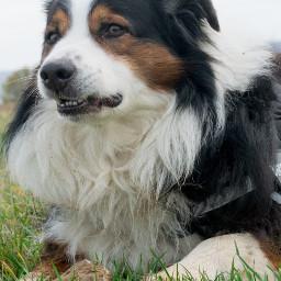 australianshepherd photography dog dogsofpicsart petsofpicsart mydog freetoedit