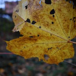 kinora leaf autumn autumncolours yellow freetoedit