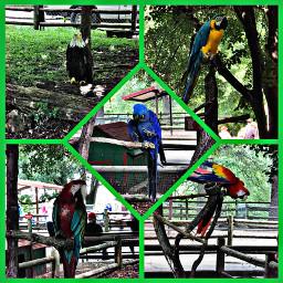 freetoedit birdsofafeather feathers birds collage hdreffect bright perched petsandanimals parrots eagle