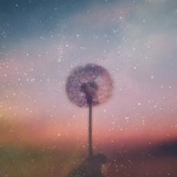 stars freetoedit ircdandelionsilhouette dandelionsilhouette