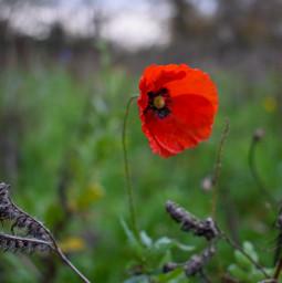 kinora closeup flower red