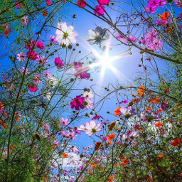 freetoedit sky sunnyday sun flowers nature photography