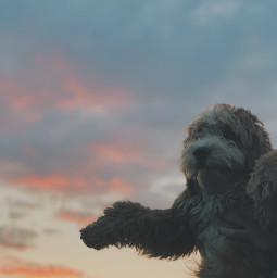 dog goldendoodle dogphotography doggos