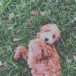 goldendoodle grass dogphotography dogphotoshoot