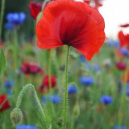 freetoedit red flower nature followme beautiful interesting photography