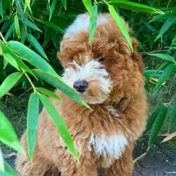 dog goldendoodle dogphotography dogphotoshoot dogphotographer dogday dogsforlife dogphoto