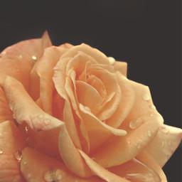 freetoedit flower rose naturesbeauty yellowrose raindropsonflower blackbackground moodyedit naturephotography